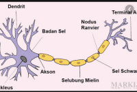 Sel Saraf (Neuron) : Pengertian, Struktur, Fungsi, Jenis