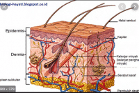 Kulit-Manusia-:-Pengertian,-Struktur-Beserta-Fungsinya