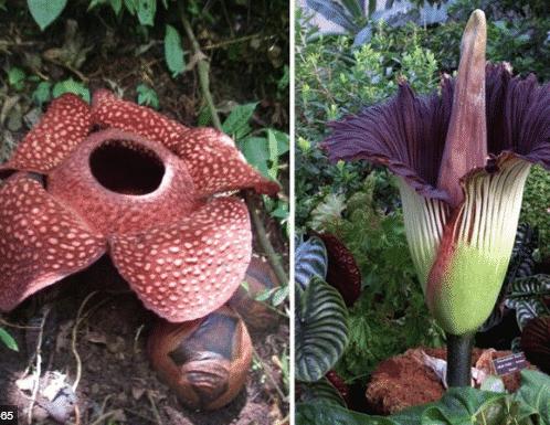 Bunga Raflesia Pengertian Ciri Habitat Dan Gambarnya