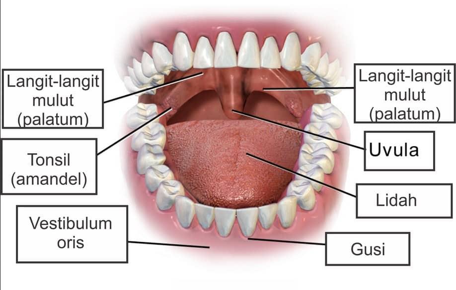 Bagian-Bagian Mulut