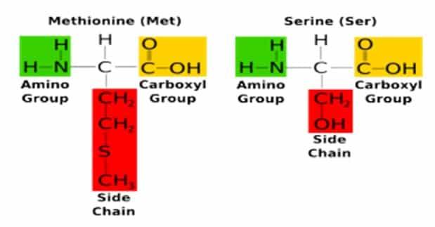 Struktur dua asam amino