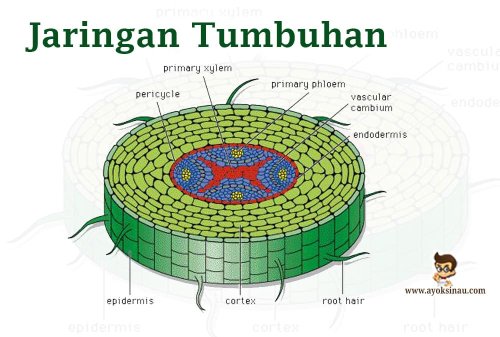 jaringan-tumbuhan