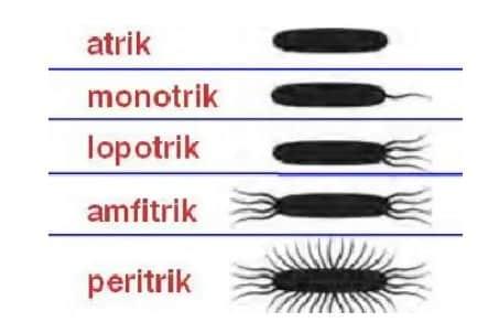 Bentuk Flagelum (rambut halus)