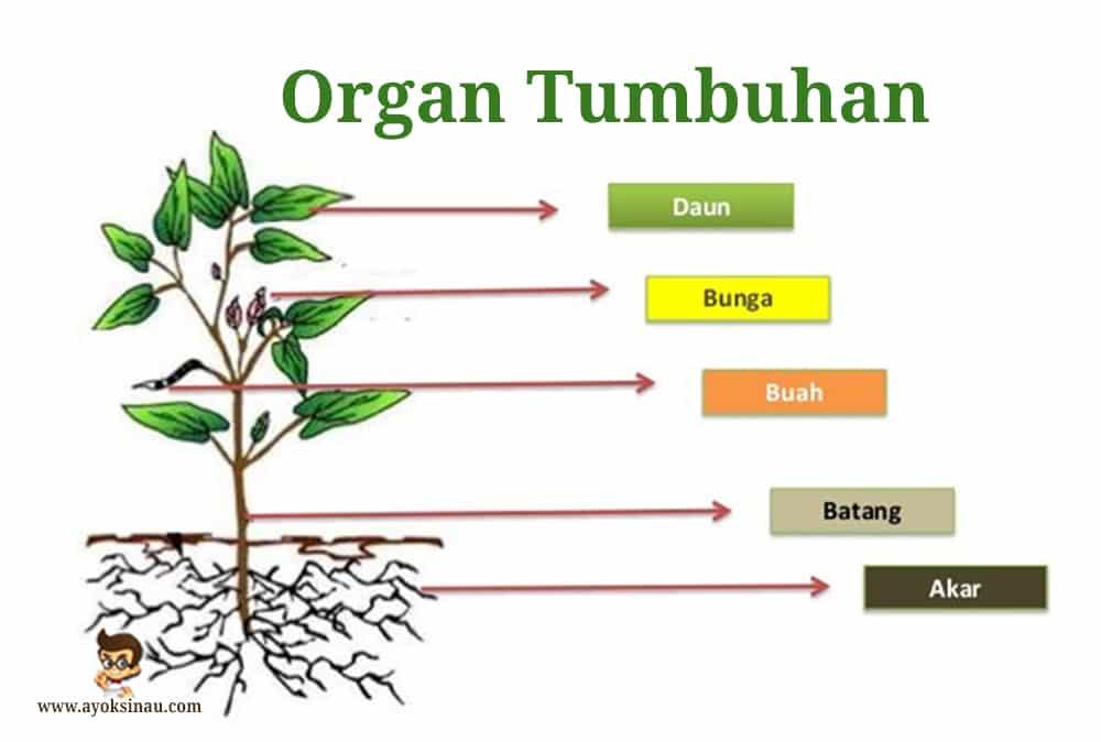 Organ-Tumbuhan