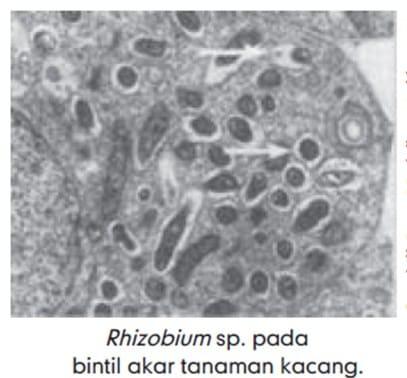 Rhizobium sp