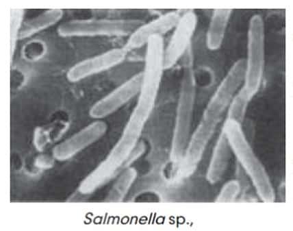 Salmonella sp
