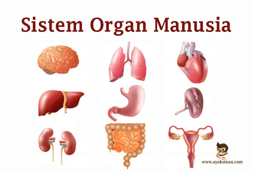 Sistem-Organ-Pada-Tubuh-Manusia-dan-Fungsinya