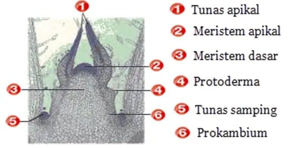 Struktur Jaringan Meristem
