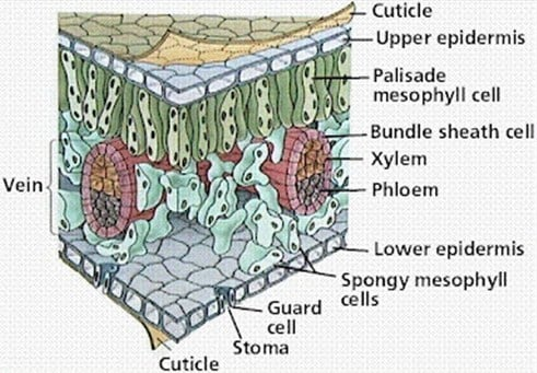 Struktur Morfologi Jaringan Epidermis pada Daun