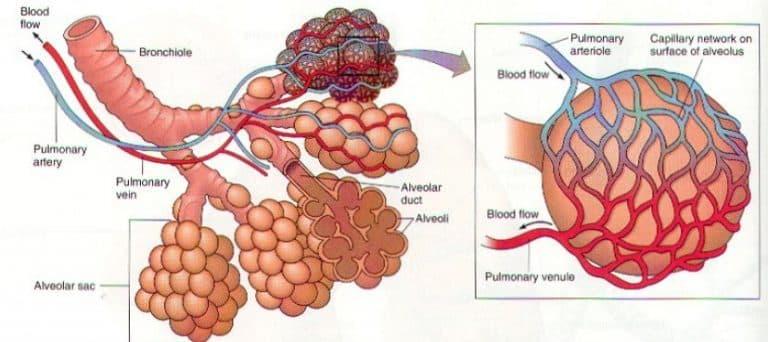 Struktur Organ Alveolus