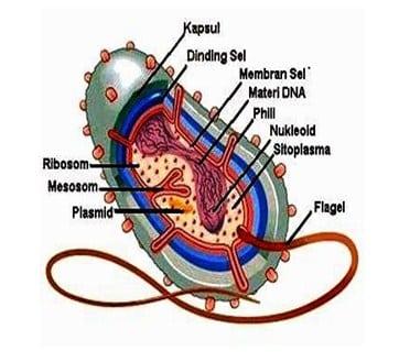 Struktur Tubuh dan Fungsi Organel pada Bakteri