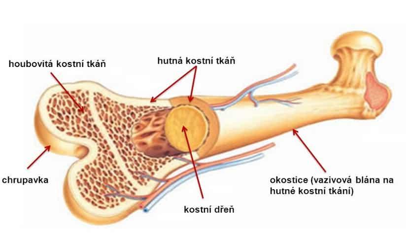 Tulang kompak
