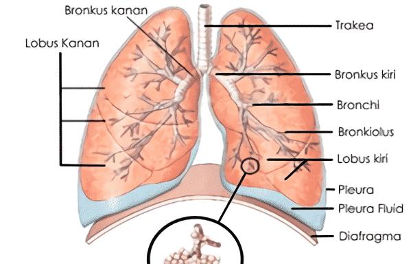 Pengertian Sistem Pernapasan Manusia Alat Organ Dan Fungsi