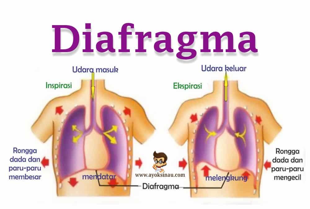 Pengertian Diafragma Fungsi Struktur Cara Kerja Gangguan