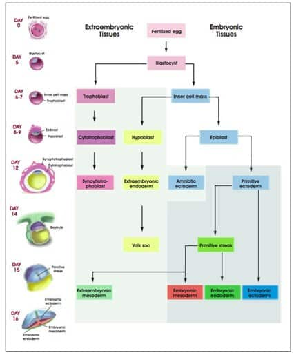 Development of Human Embryonic Tissues.
