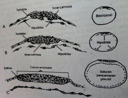 Diagram skematik pembentukan hipoblas embrio babi.
