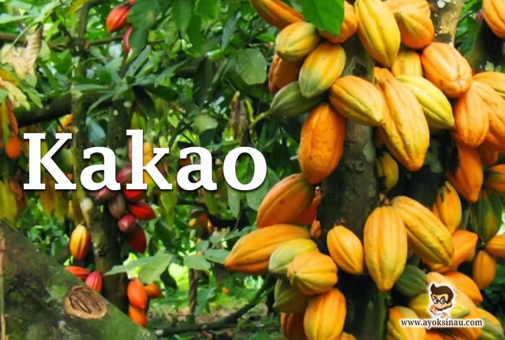 tanaman-kakao